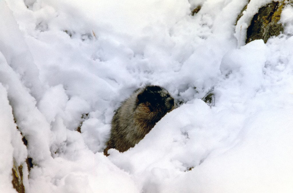 Hoary marmot - dads pick